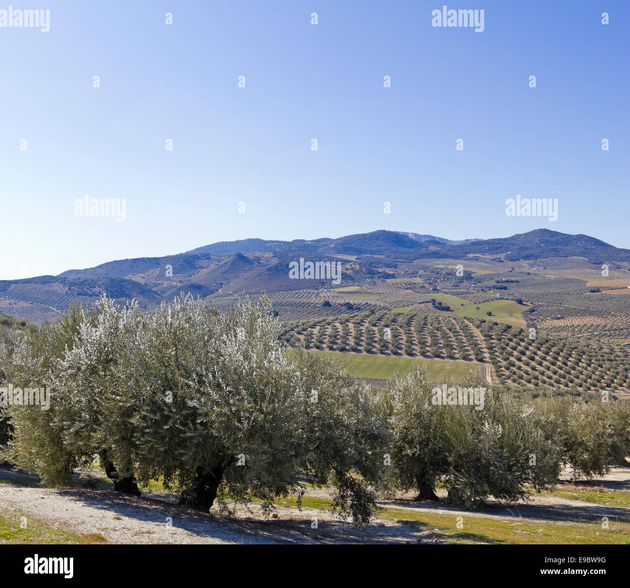 Olive orchards in the Andalusia region of Spain. - Stock Image