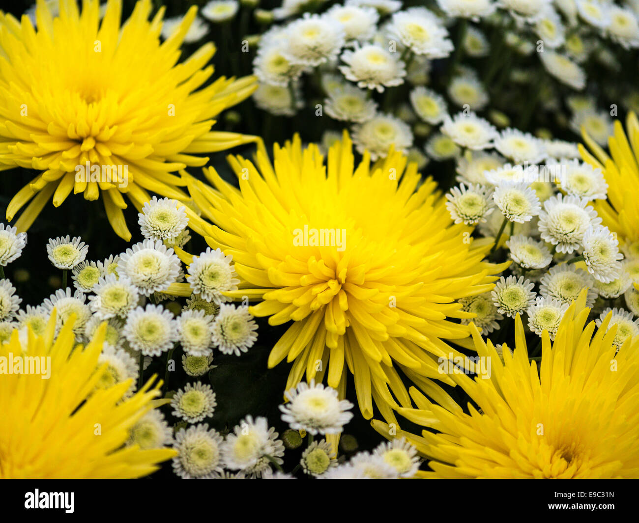 Mixed bouquet depicting yellow Chrysanthemum with white daisy fill. Stock Photo