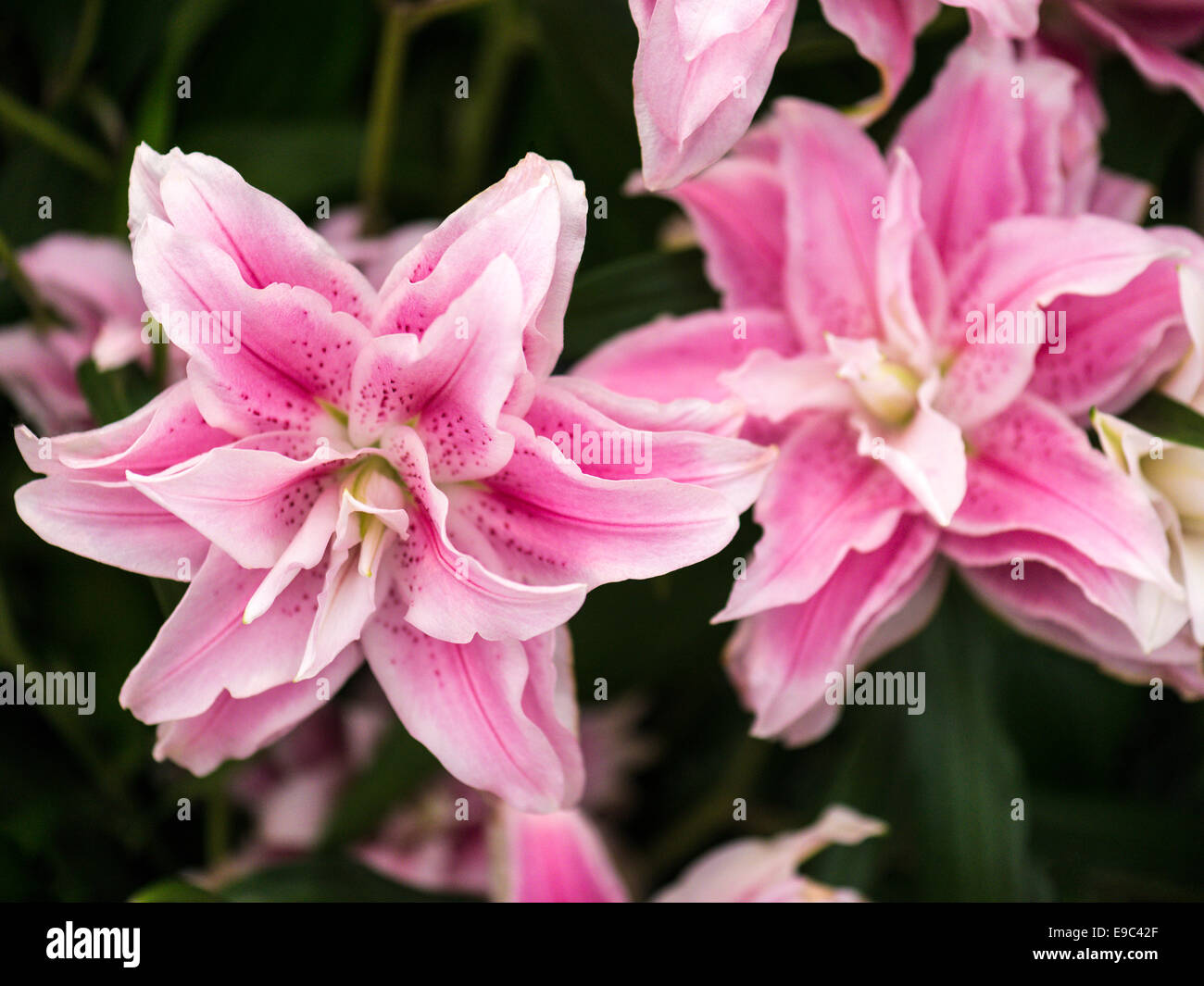 Lilium white with bold central pink stripe, curly multi layered petals with prominent carpel. - Stock Image