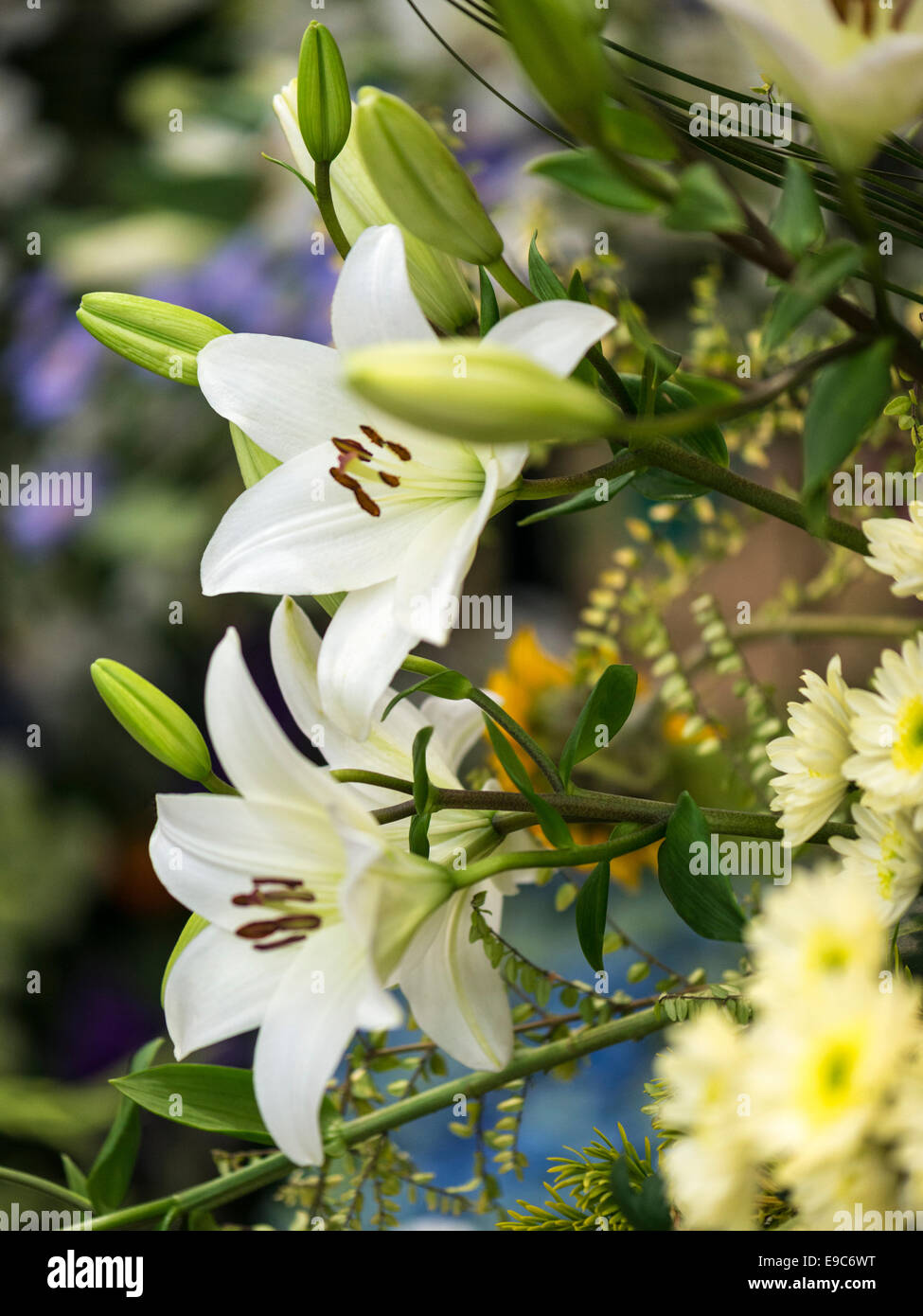 Lilium White flowers and green buds. - Stock Image