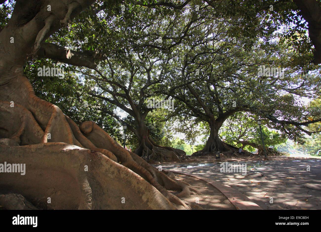 Small Banyan Tree Stock Photos & Small Banyan Tree Stock