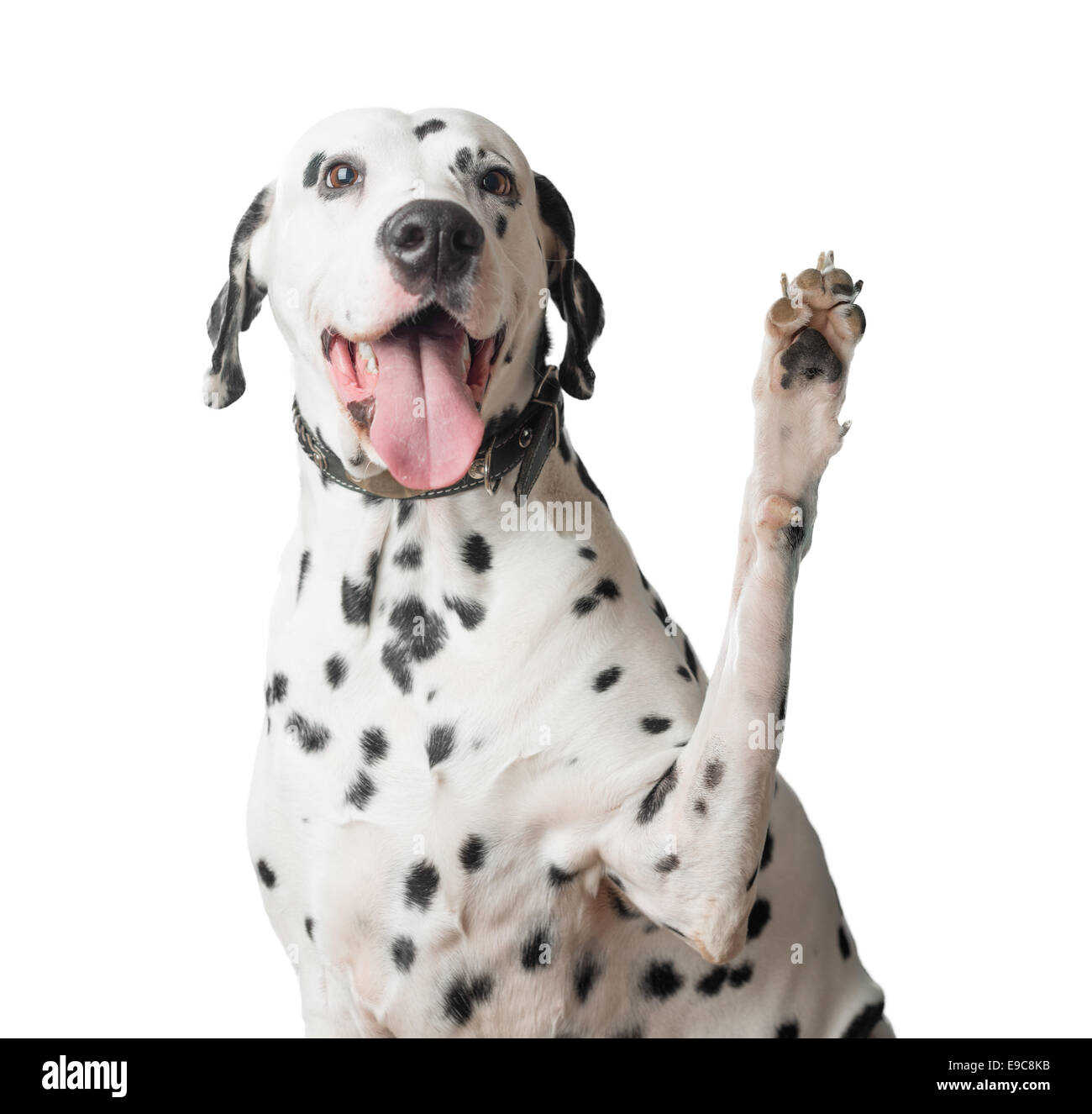 A funny and cheerful dalmatian with a lot of black spots waves its paw like greeting somebody. Its mouth is open - Stock Image