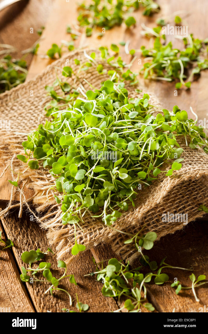 Raw Green Arugula Microgreens on a Background - Stock Image