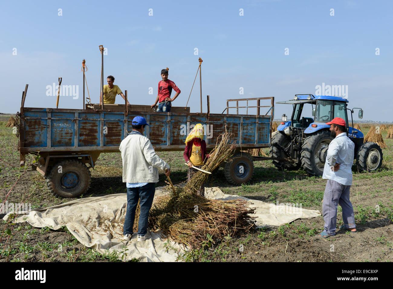 TURKEY, Asmali, near Adana, syrian refugees thresh sesame for low wages for a turkish farmer - Stock Image