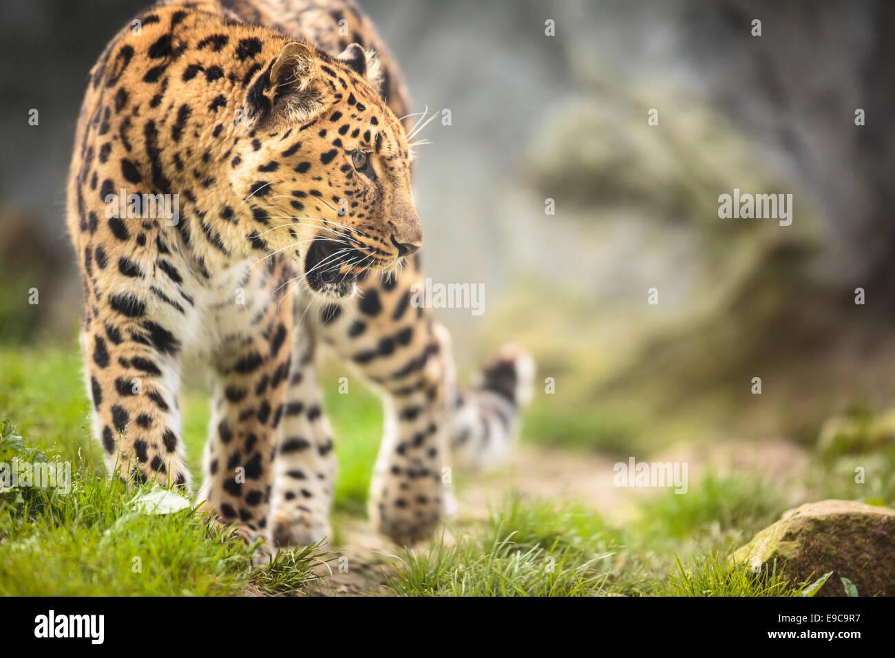 Amur Leopard (Panthera pardus orientalis) - Stock Image