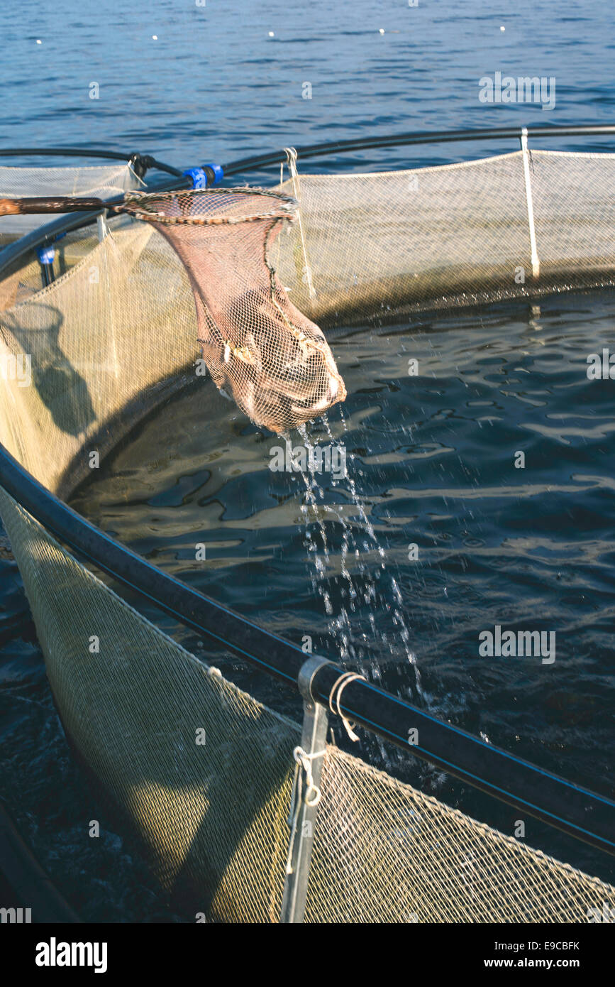 Catching fish with landing net. Cages for fish farming - Stock Image