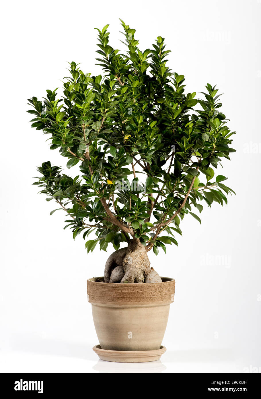 Ficus Bonsai Stock Photos Ficus Bonsai Stock Images Alamy