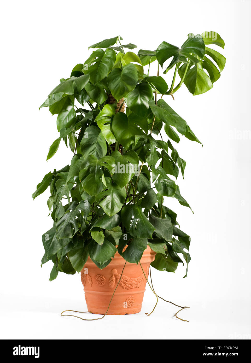 Leafy green delicious monster plant - Stock Image