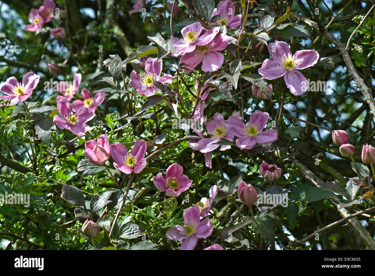 An old pink flowered Clematis montana climbing through the branches of a hawthorn tree - Stock Image