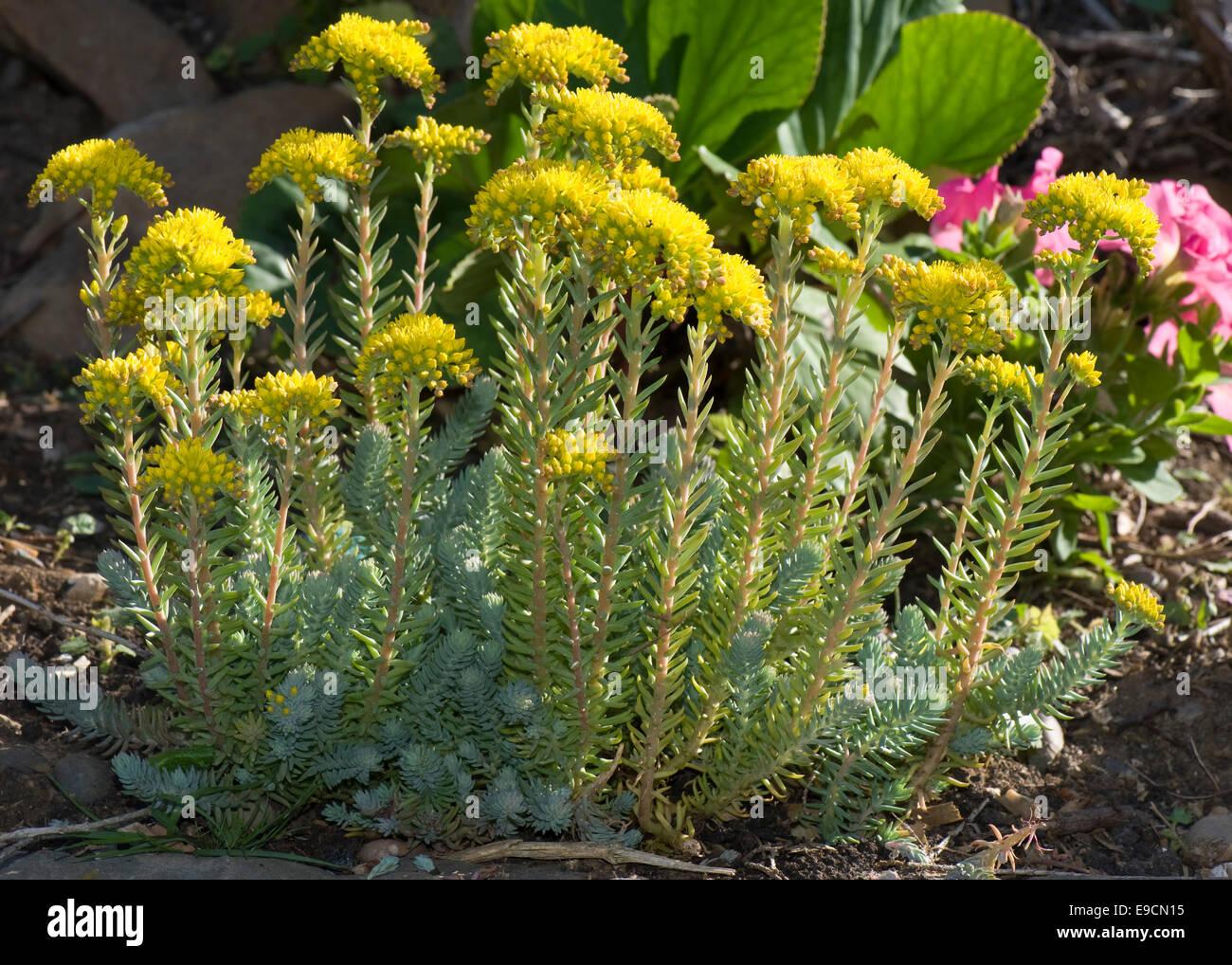 Sedum reflexum blue cushion a rockery plant with yellow flowers sedum reflexum blue cushion a rockery plant with yellow flowers june mightylinksfo