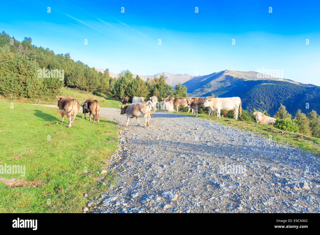 A herd of white and brown cows in the Spanish Pyrenees walking and lying along a dirt road on a mountain slope - Stock Photo