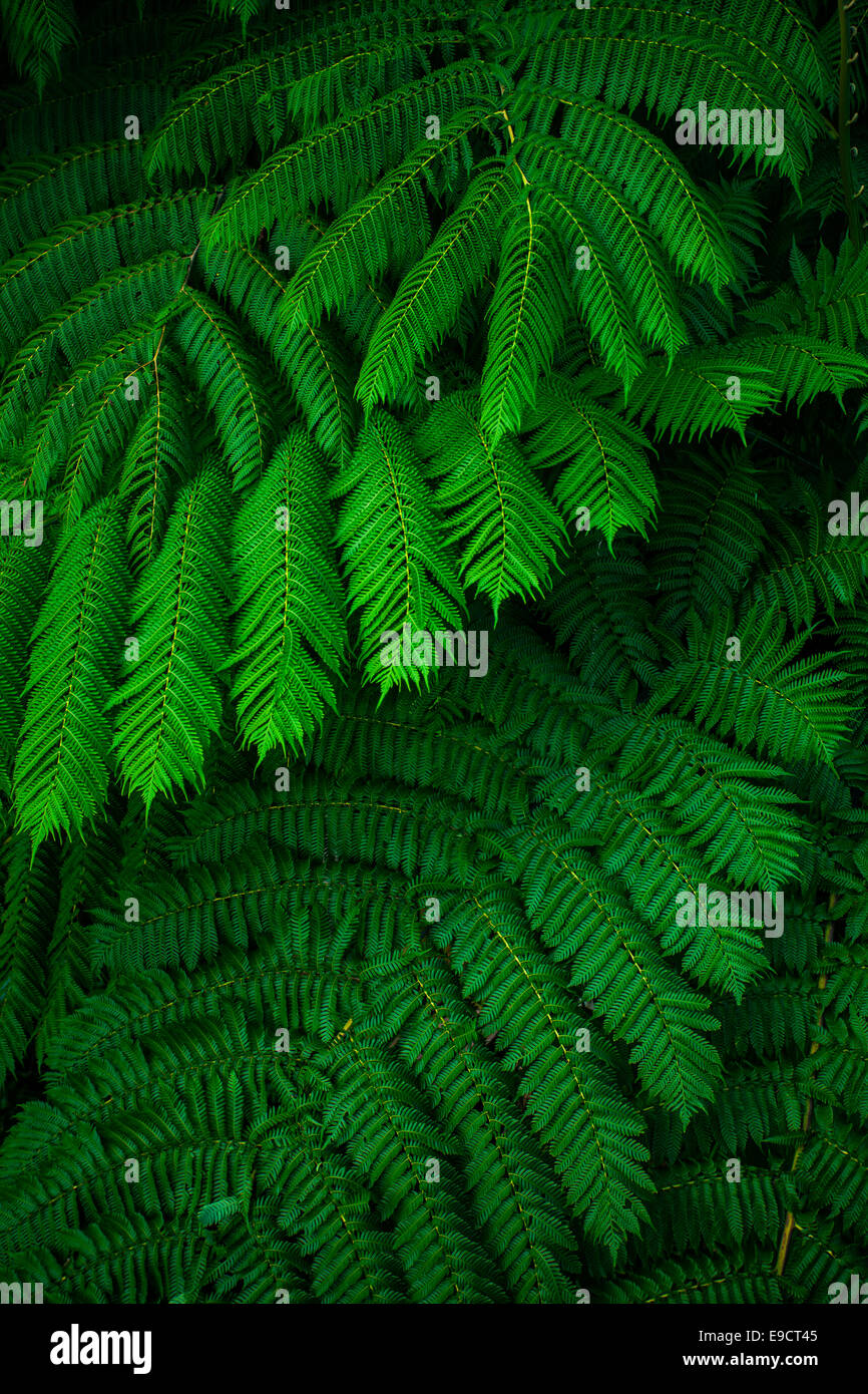 Green lush ferns growing in wild rain forest of Queensland Australia - Stock Image