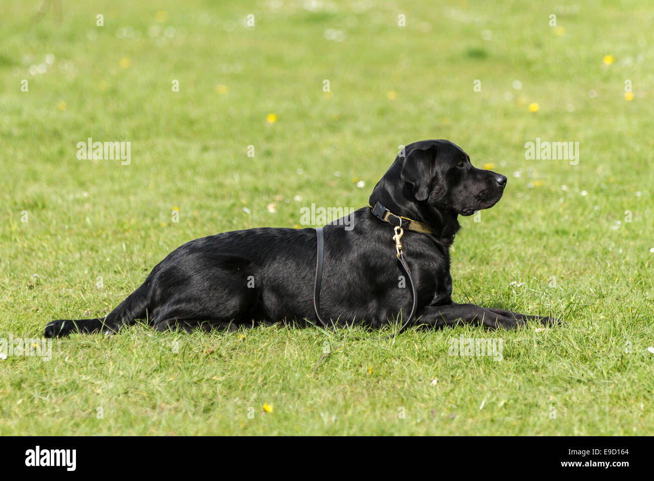Obedient black labrador dog , laid on ground with collar over his back waiting for a command during a dog training - Stock Image