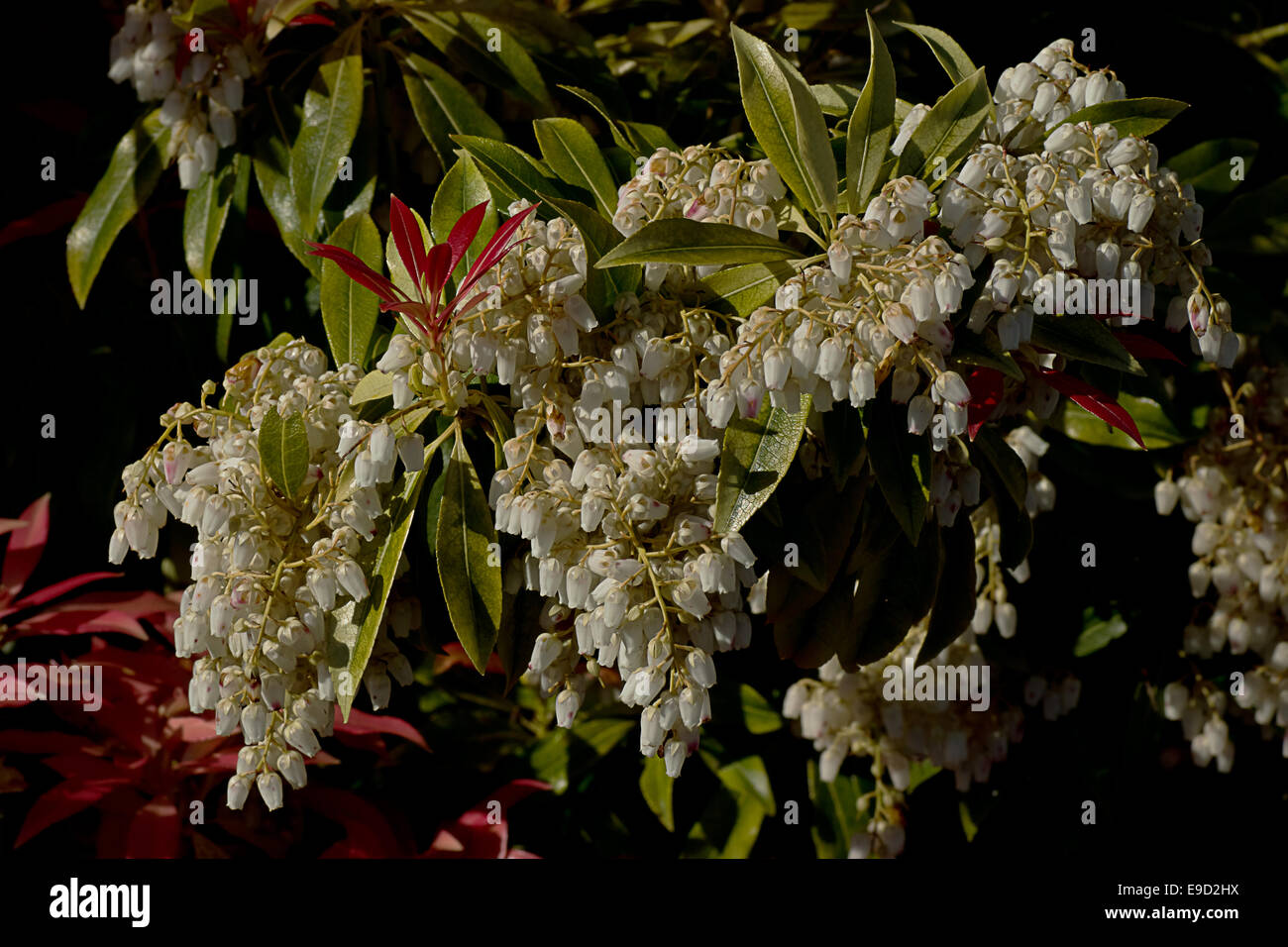 White Japonica Flowers And Red Leaves Stock Photo 74660822 Alamy