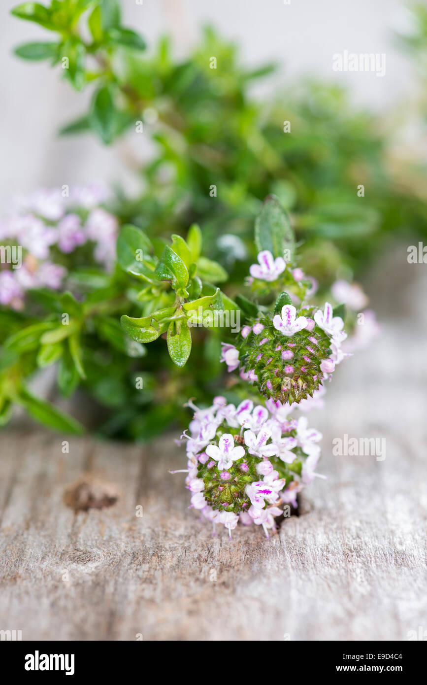 Small portion of Winter Savory (detailed close-up shot) - Stock Image