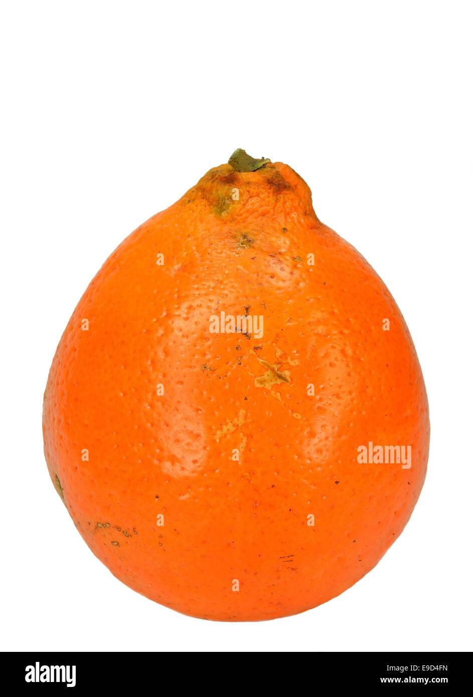 Mineola Tangelo (Honey Bell) orange. - Stock Image