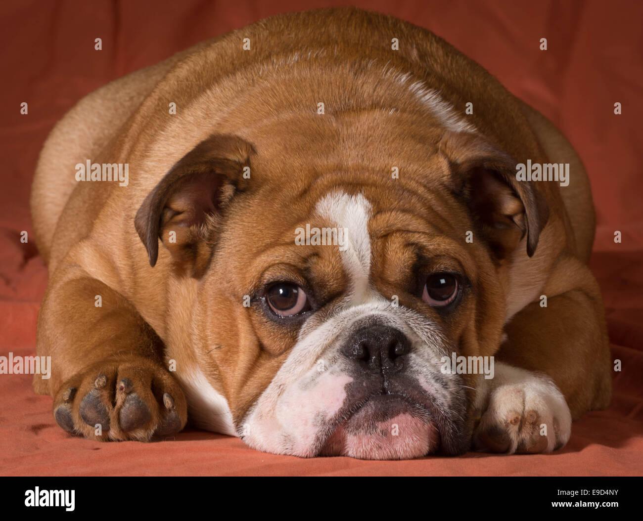 English Bulldog Puppy Laying Down Stock Photos English Bulldog