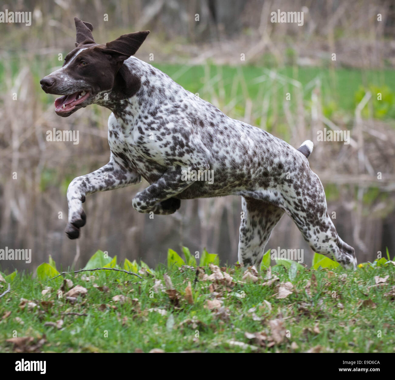 german shorthaired pointer running in a park Stock Photo: 74663802 ...