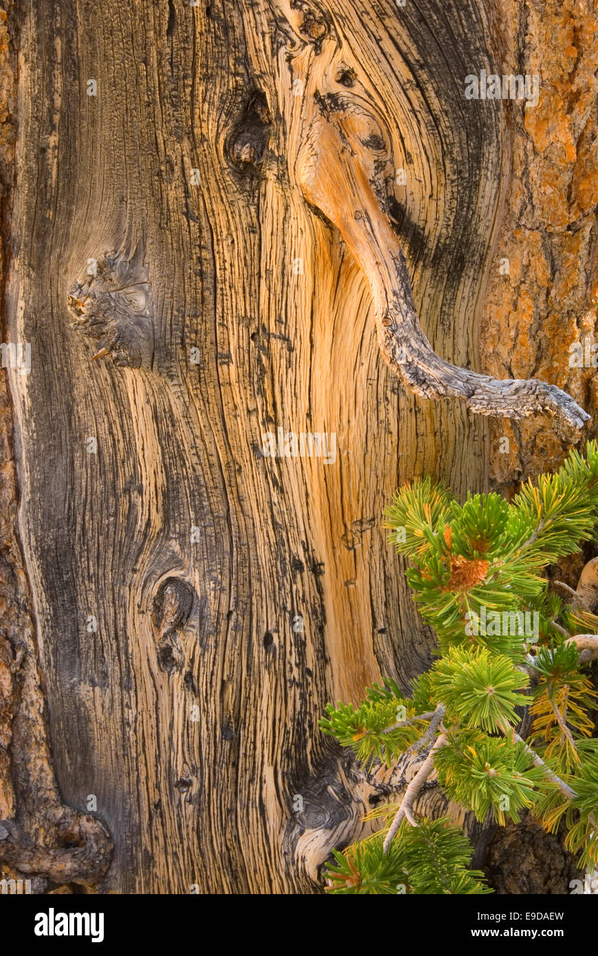 Bristlecone pine wood, Ancient Bristlecone Pine Forest, Inyo National Forest, California Stock Photo