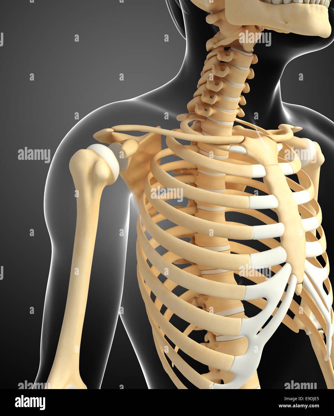 Illustration of shoulder skeleton Stock Photo: 74673261 - Alamy