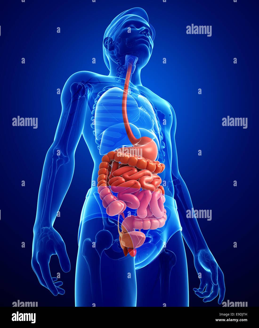 Illustration of male small intestine anatomy Stock Photo: 74673553 ...
