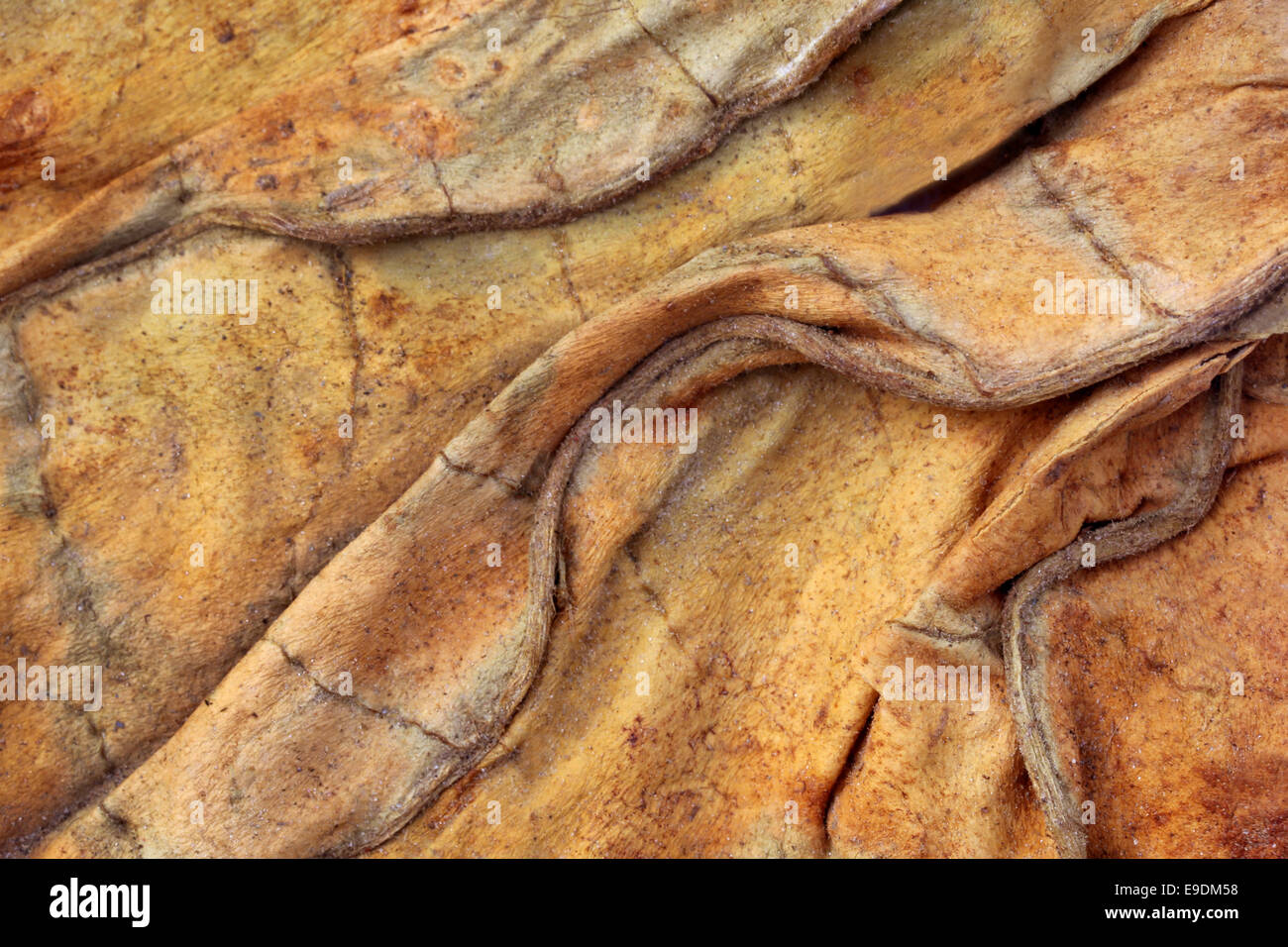 Background of dried tobacco leaves - Stock Image