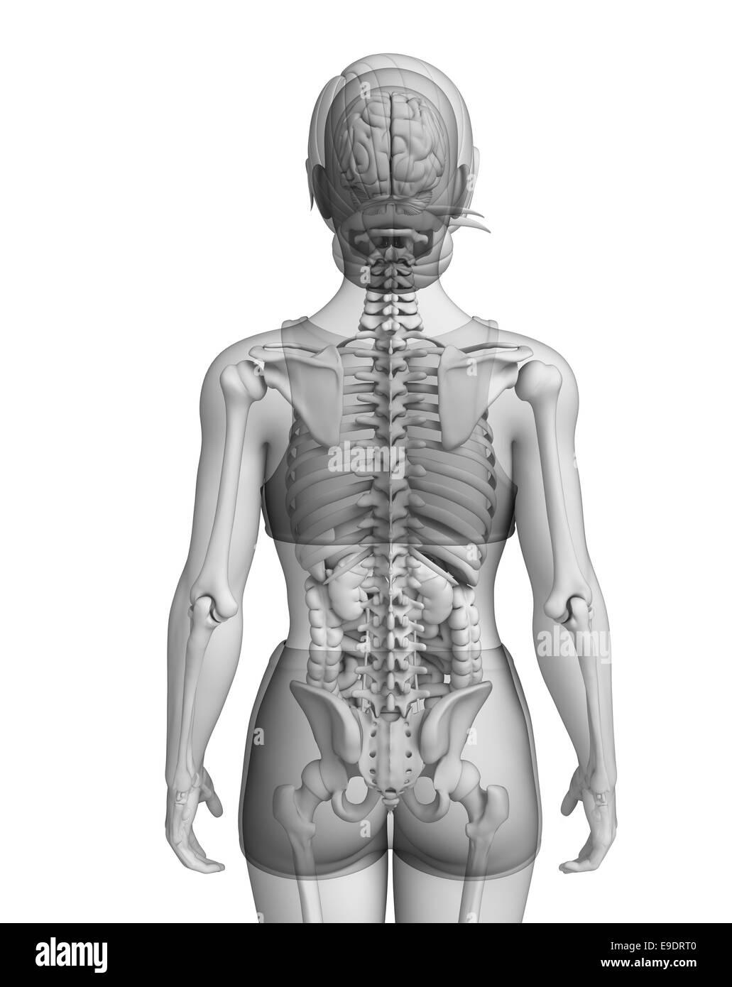 Female Digestive System Stock Photos & Female Digestive System Stock ...