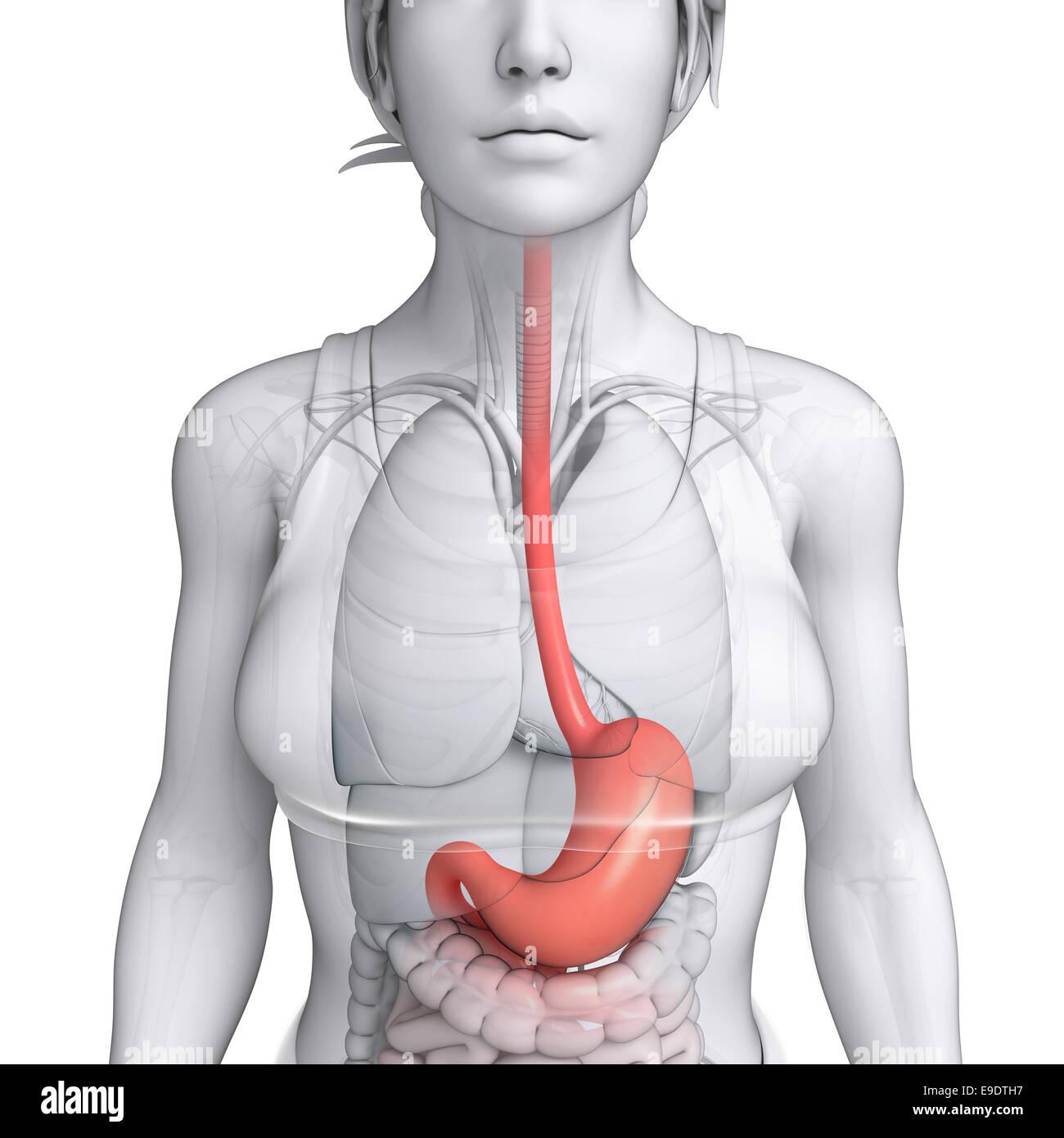 Illustration Of Female Stomach Anatomy Stock Photo 74678051 Alamy