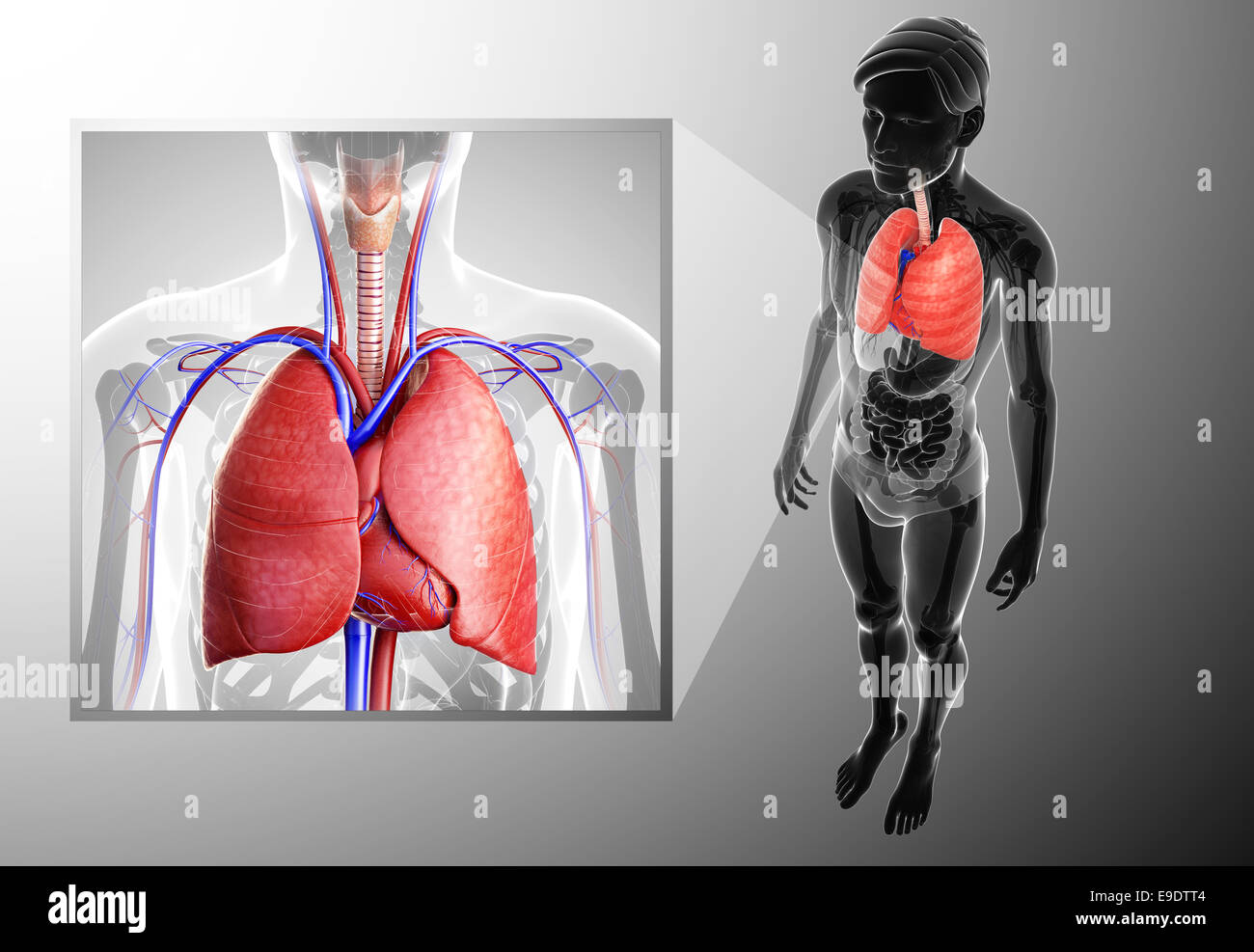 Illustration Of Human Lungs Anatomy Stock Photo 74678244 Alamy