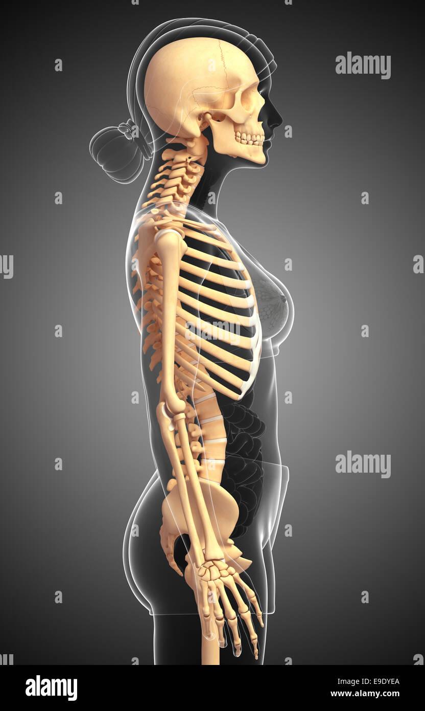 Illustration Of Human Skeleton Side View Stock Photo 74680322 Alamy