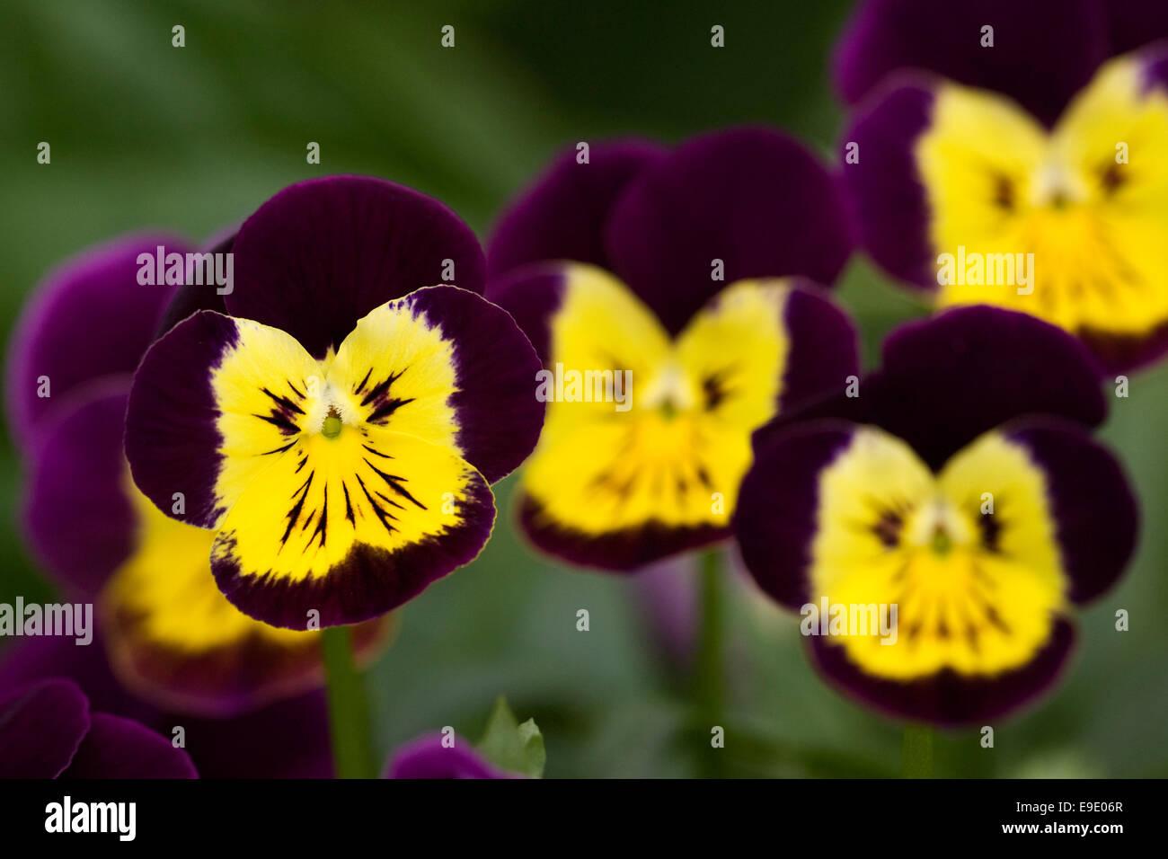 Viola flowers in Summer. - Stock Image