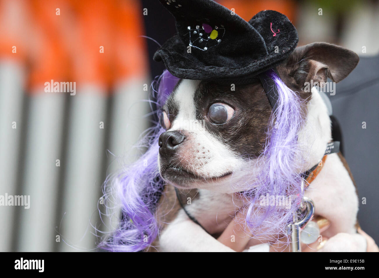 London Uk 26 October 2014 Blind Boston Terrier Toby 8 Years