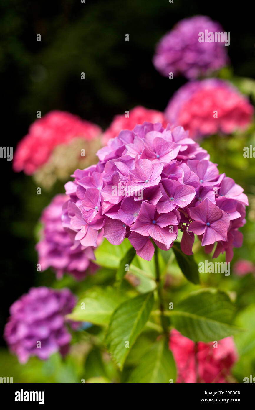 colour image of hydrangeas - Stock Image