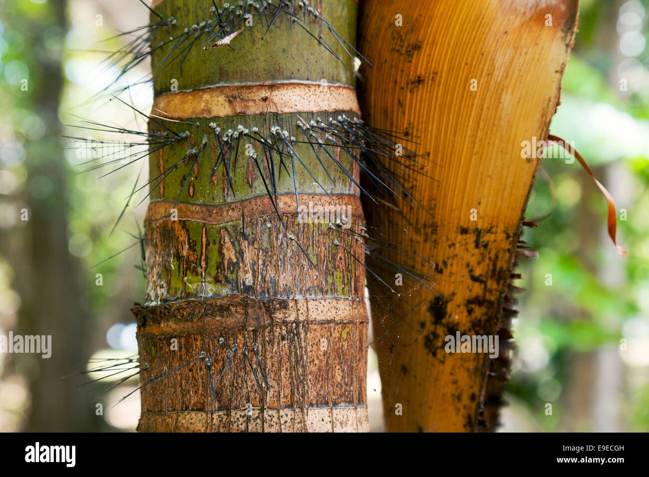 Close up of Bamboo showing protective spines - Stock Image