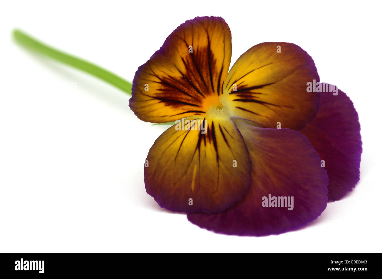 Viola flower over white background - Stock Image