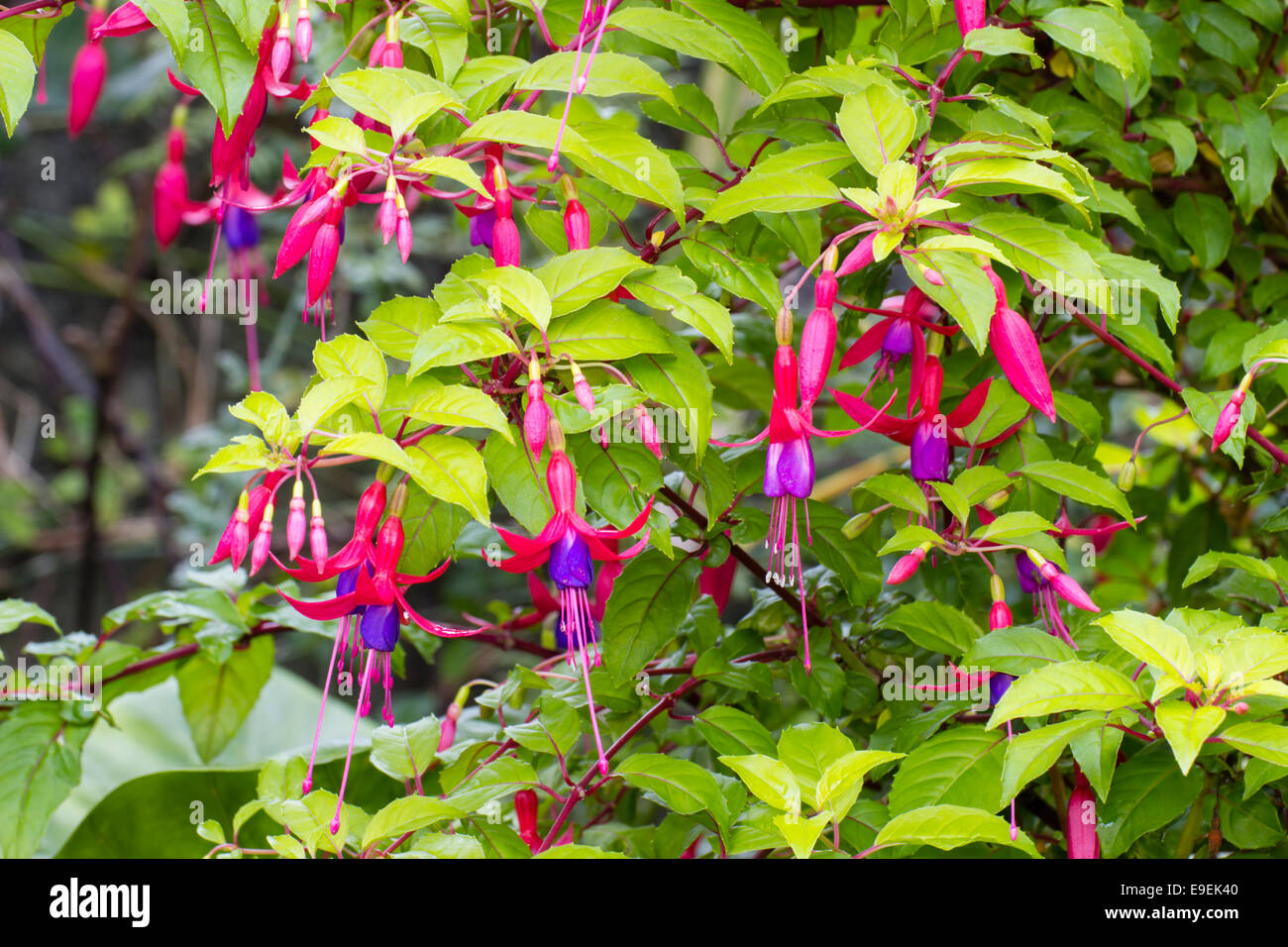 Bright Fuchsia Flowers Adorn The Semi Evergreen Golden Foliage Of