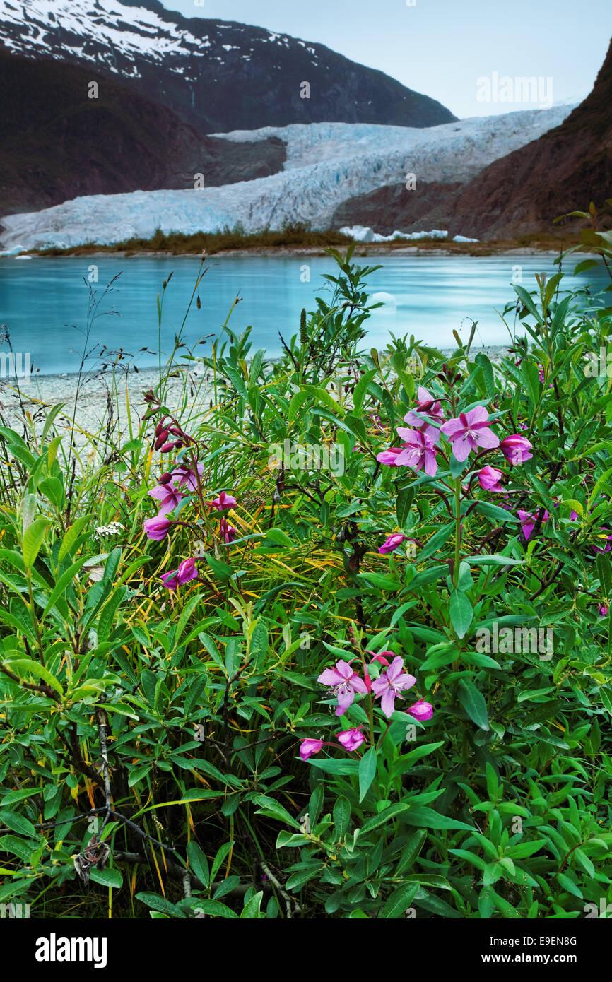 Fireweed at shore of Mendenhall Lake and Mendenhall Glacier, Juneau, Alaska, USA - Stock Image