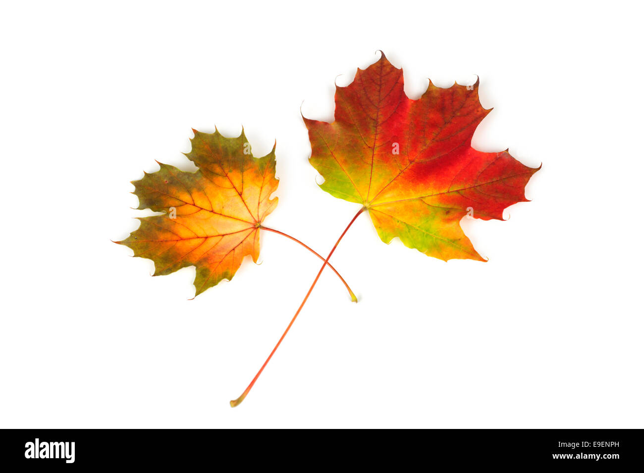 Maple Leaf Leaves Fall Autumn Colors Colours - Stock Image