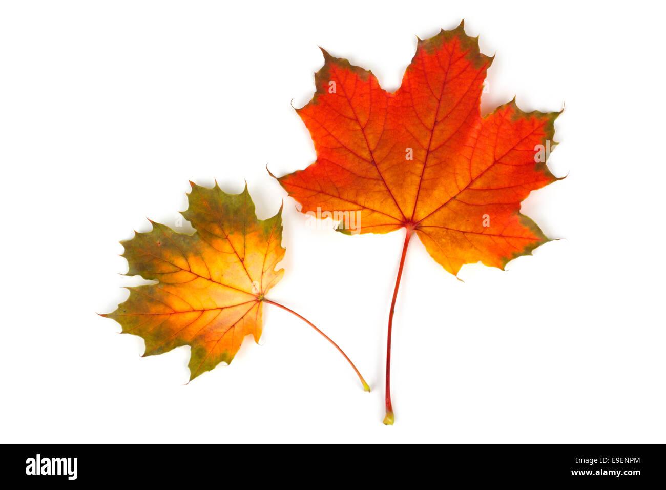 Maple Leaf Leaves Fall Autumn Colors Colours - Stock Image