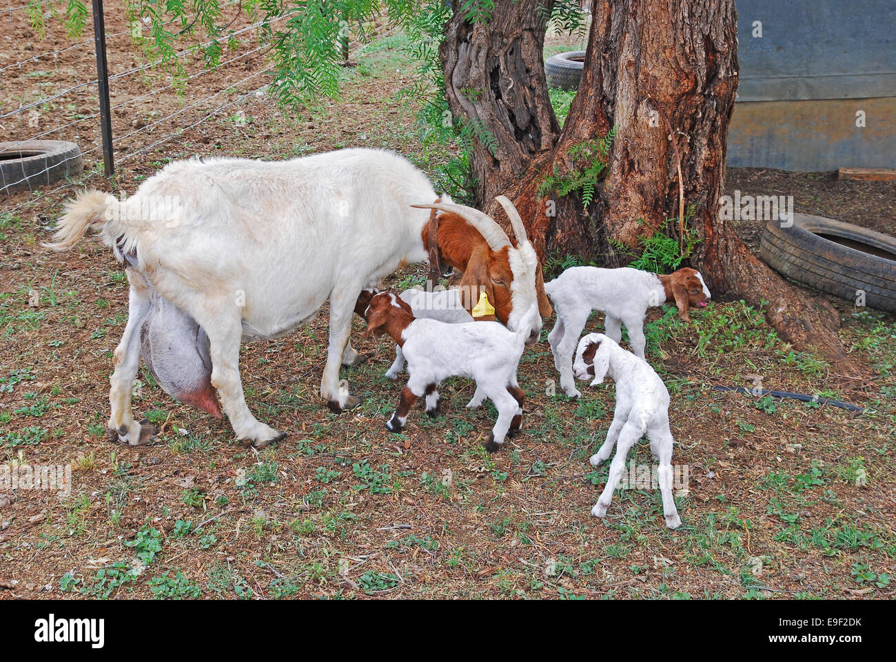 A  white nanny goat with four babies. - Stock Image