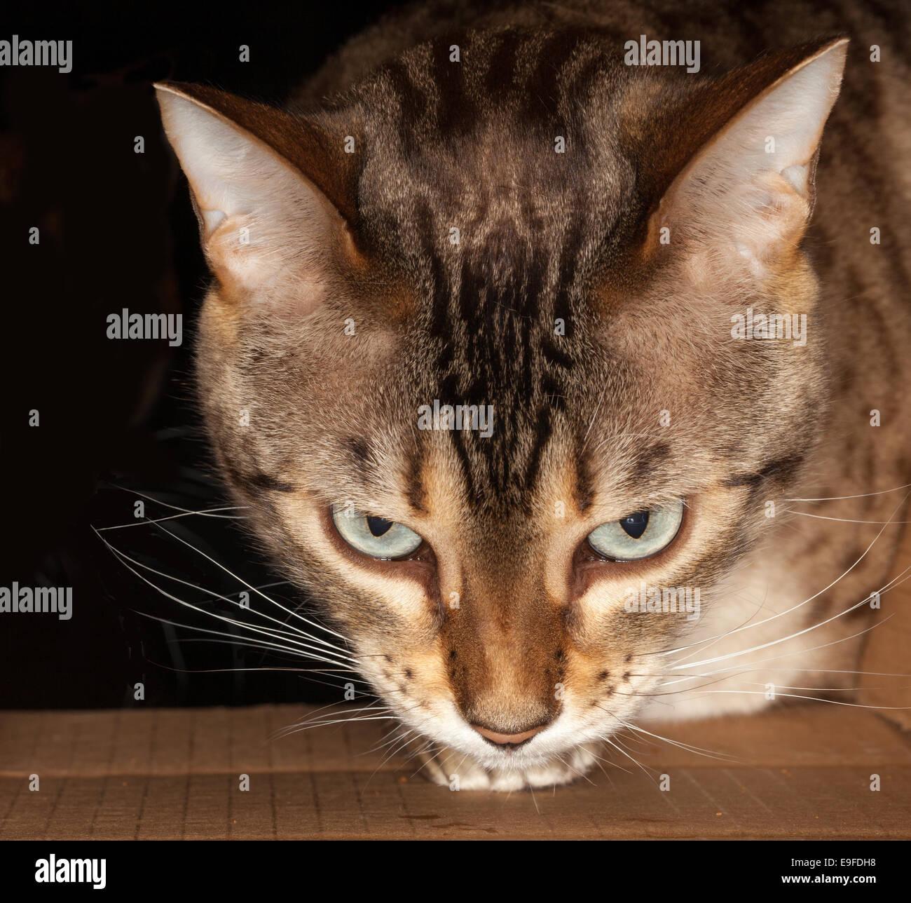 Bengal cat peering through cardboard box - Stock Image