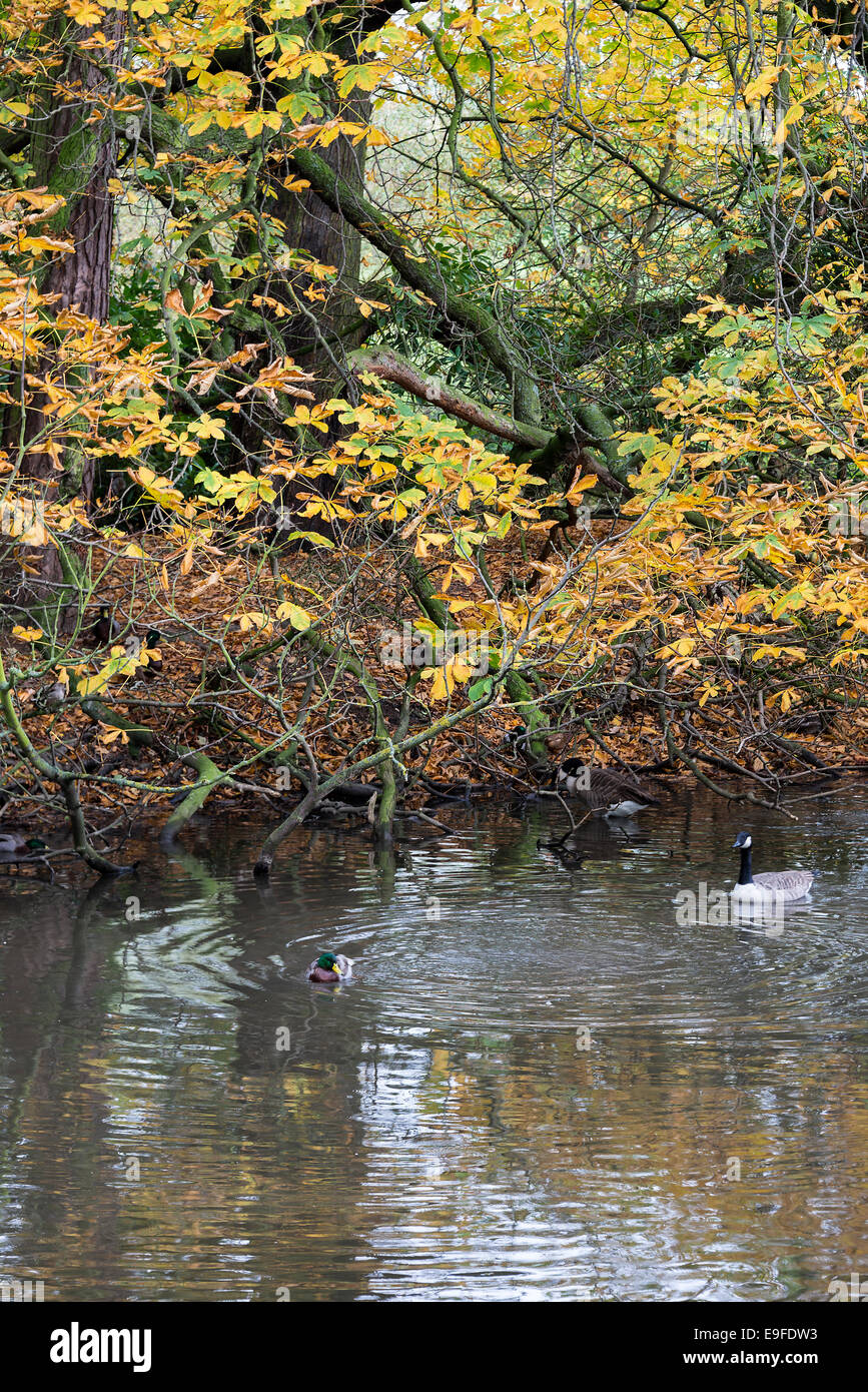 Autumn Colours of Horse Chestnut Tree Hanging Over Water at Cannon Hall Country Park Cawthorne South Yorkshire England - Stock Image