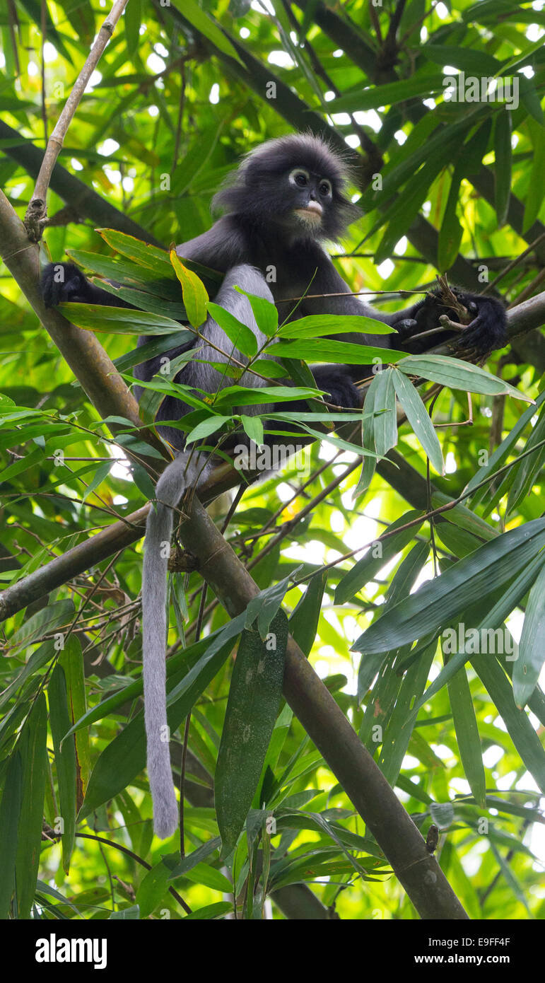 Dusky Leaf Monkey (Trachypithecus obscurus) also known as Spectacled Langur, or Spectacled Leaf Monkey, Kaeng Krachan - Stock Image