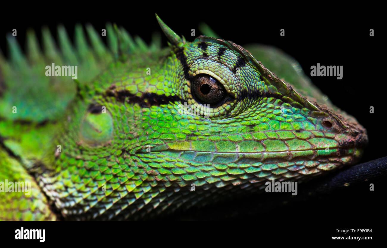 Emma Gray's Forest Lizard (Calotes emma), also called Forest crested Lizard, Kaeng Krachan National Park, Thailand - Stock Image