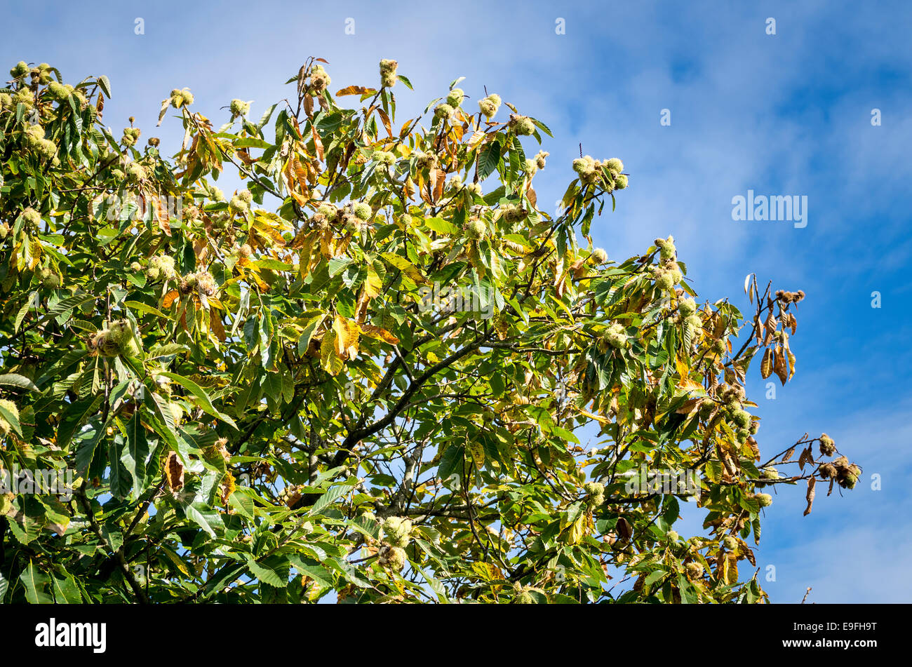 Sweet chestnut tree with ripe nuts in October Stock Photo