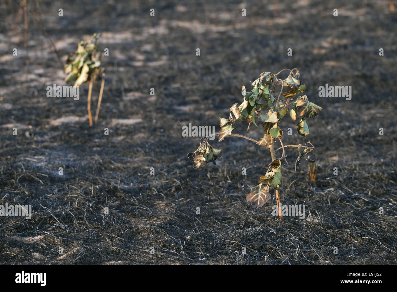 Dead plants with burnt ground in the back - Stock Image