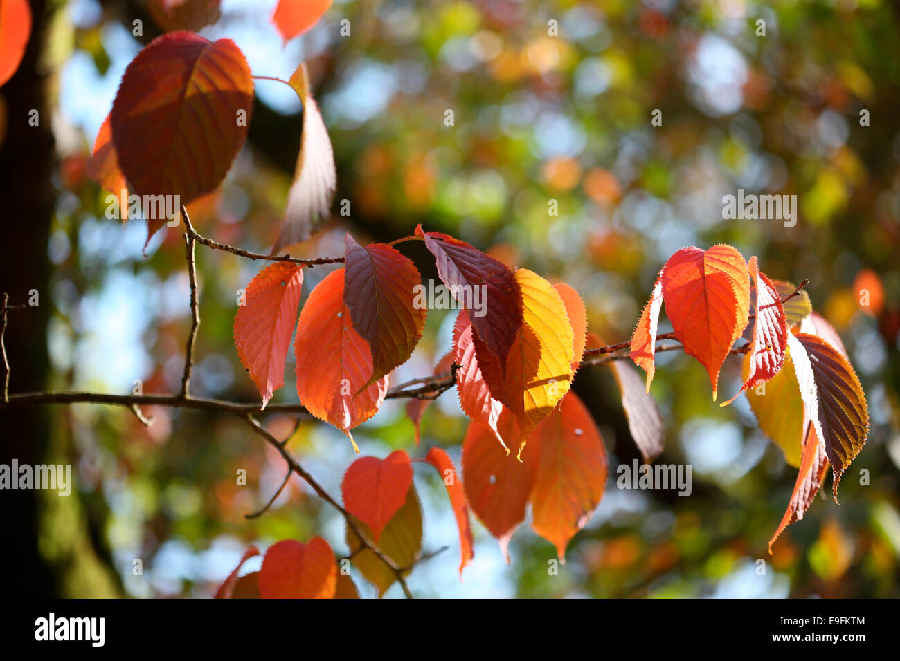 autumnal leaves Sargent's Cherry tree Jane Ann Butler Photography JABP1313 Stock Photo