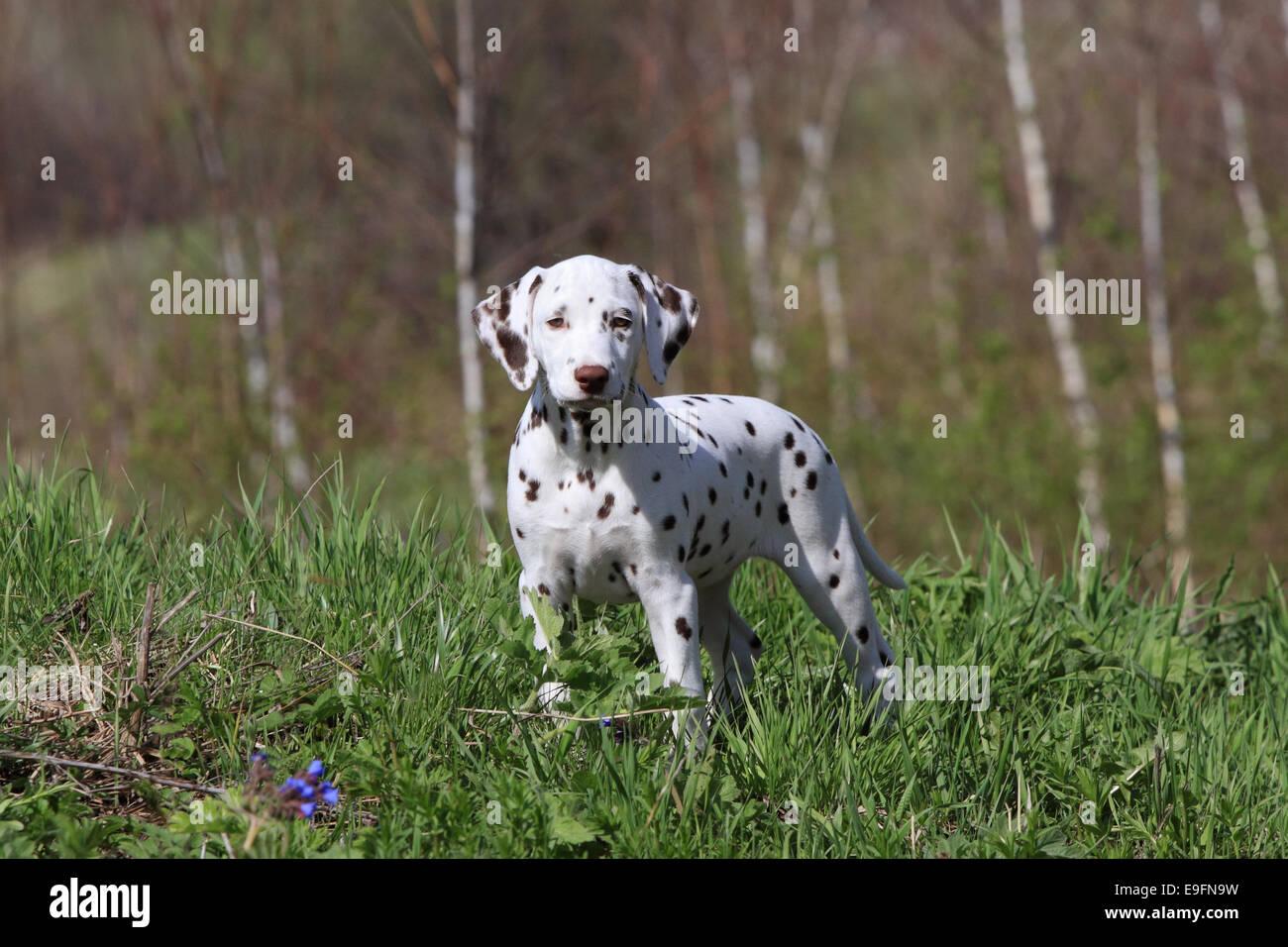 Dalmatian puppy dog - Stock Image