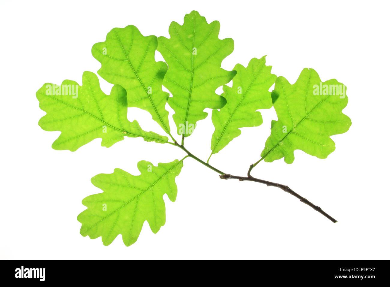 Oak leaves (Quercus robur) Stock Photo