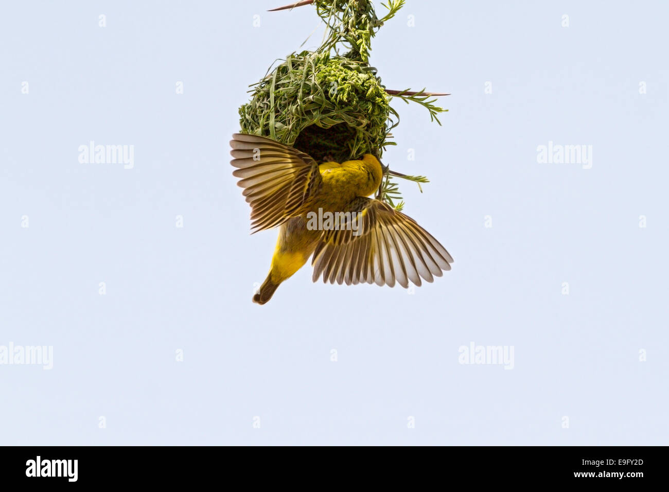 An adult male Southern Masked Weaver (Ploceus velatus) displays to a prospective mate that his nest is ready for - Stock Image